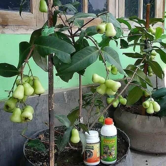 hasil pupuk organik pelebat buah nasa